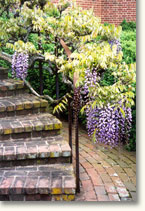 Garden with Wisteria
